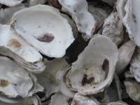 Gov Isl - oyster shells